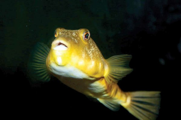 Northern_Puffer_in_aquarium.jpg