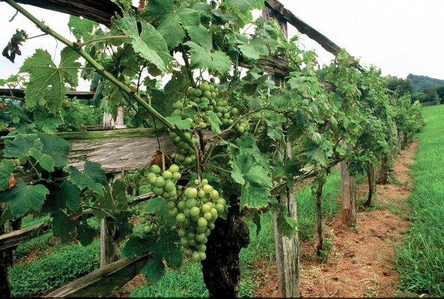 Pub2-0001_ini-vineyard.jpg