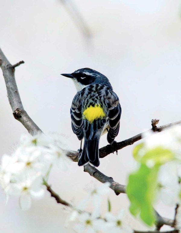 Yellow-rumped-Warbler.jpg