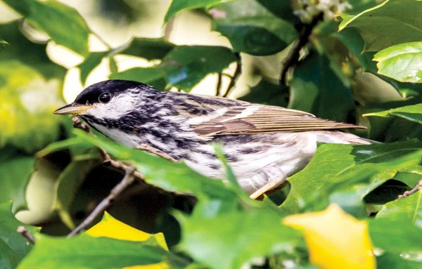Blackpoll-Warbler.jpg
