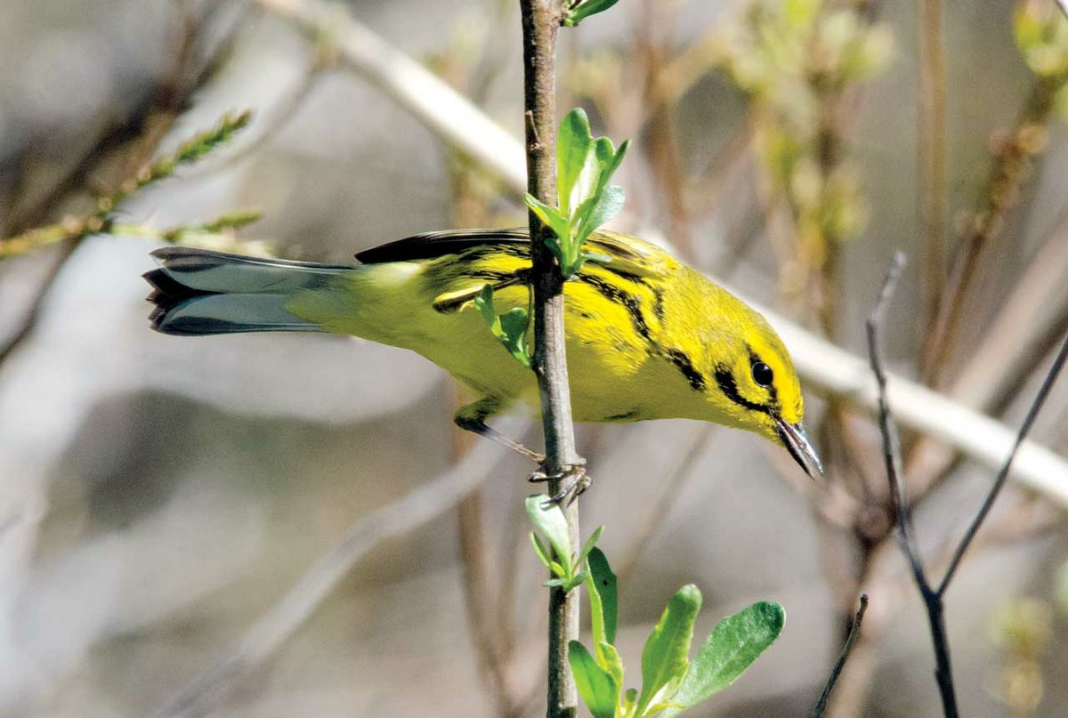 Songbirds of the Northern Neck - thehouseandhomemagazine com