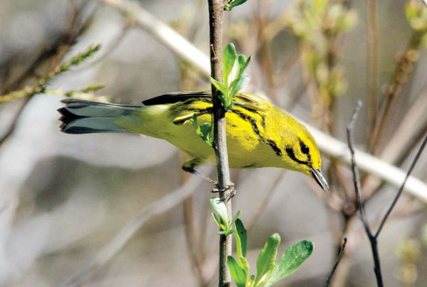 Prarie-Warbler.jpg