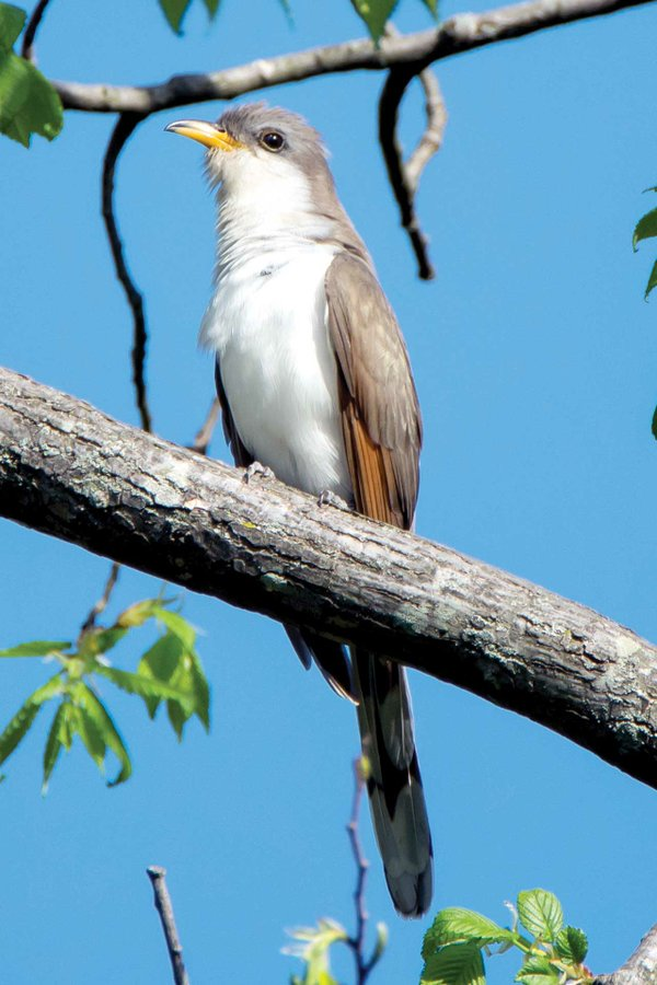 Yellow-billed-Cuckoo.jpg