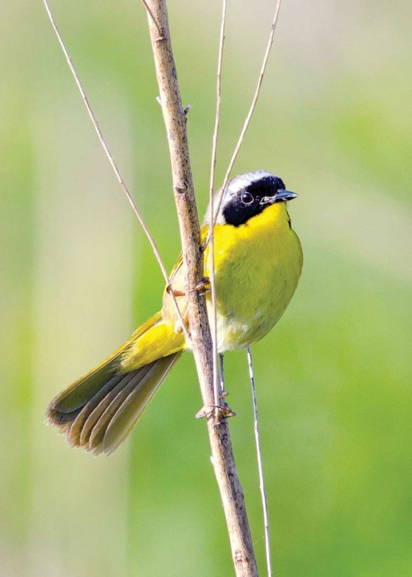 Common-Yellowthroat.jpg