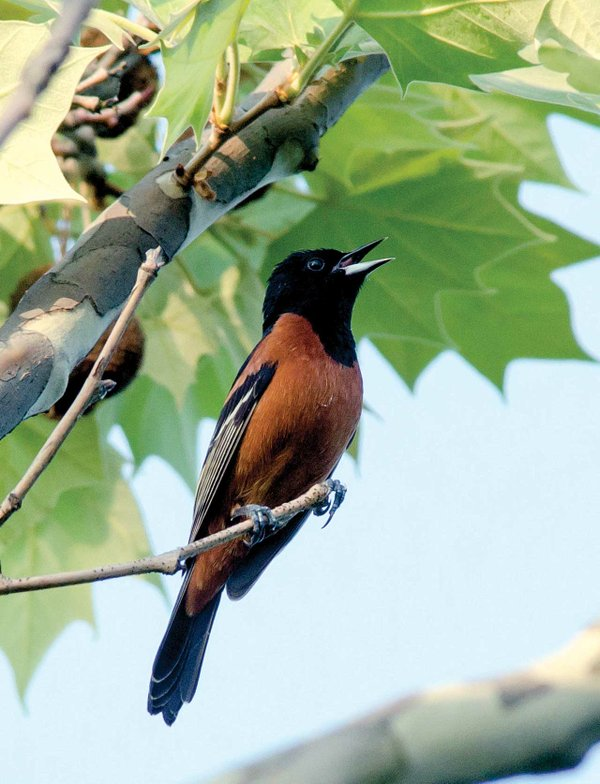 Orchard-Oriole.jpg