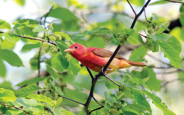 Summer-Tanager.jpg