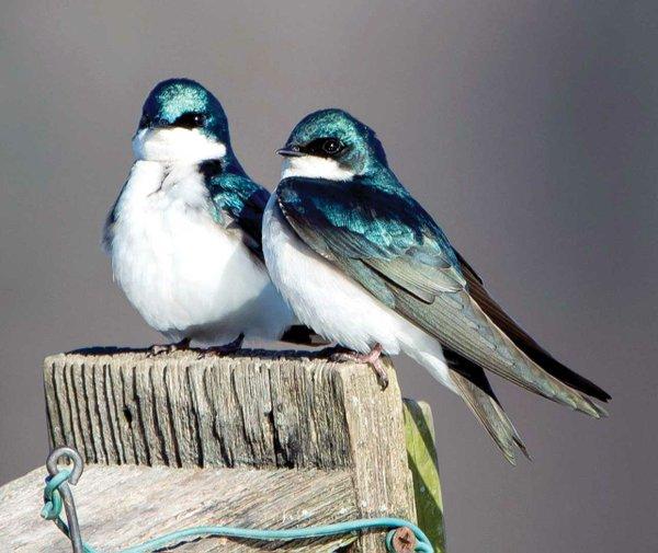 Tree-Swallows.jpg