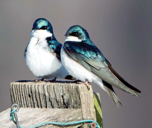 Tree-Swallows.jpg