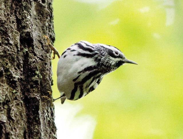 Black-and-white-warbler.jpg