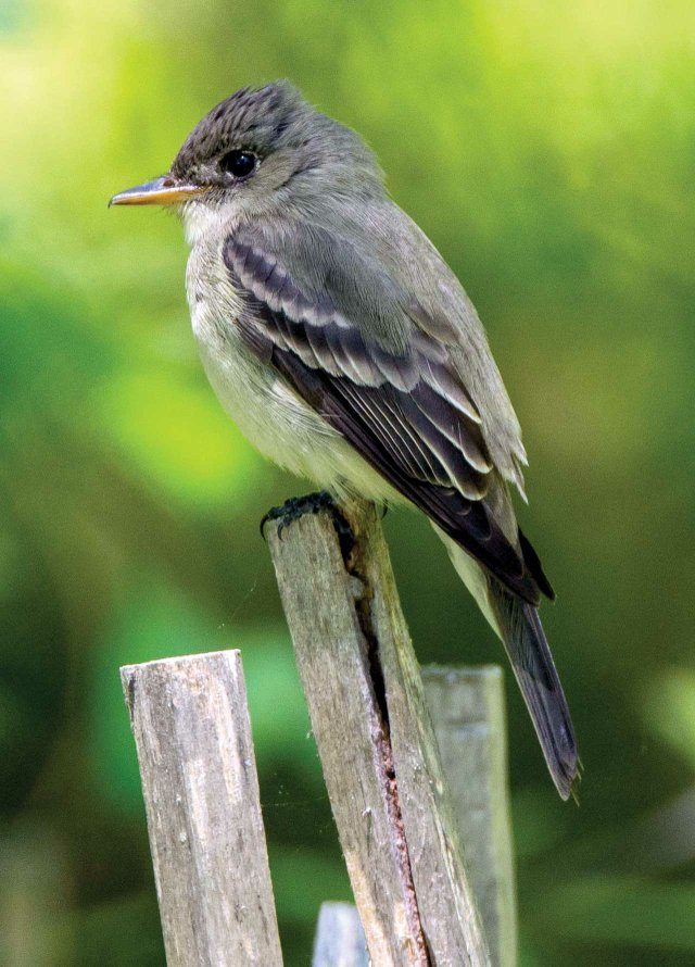 Eastern-Wood-Pewee.jpg