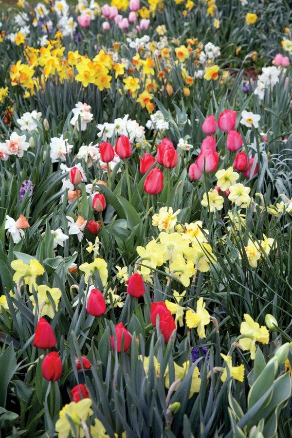 a-few-tulips-brighten-a-daffodil-orgy.jpg