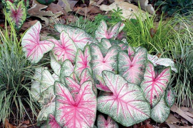 Summer-Pink-Carex.jpg