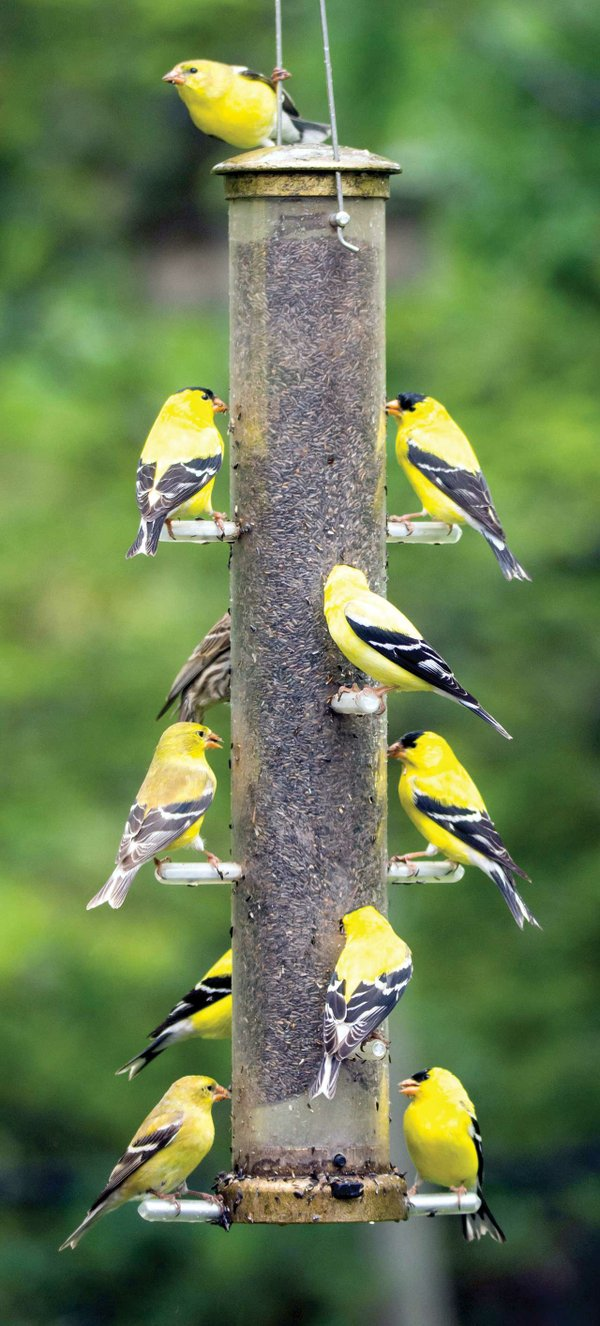 American-Goldfinch-group.jpg