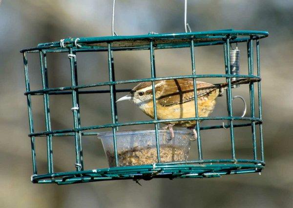 Carolina-Wren-at-mealworm-feeder.jpg