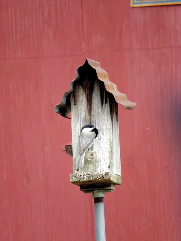 Carolina-Chickadee-in-vintage-birdhouse.jpg