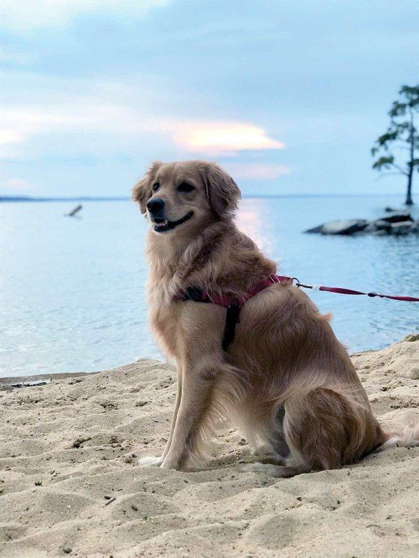 Golden-Retriever-Beach-2_cmyk_l.jpg