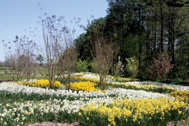 2011-Apr-17_-lots-of-daffs.jpg