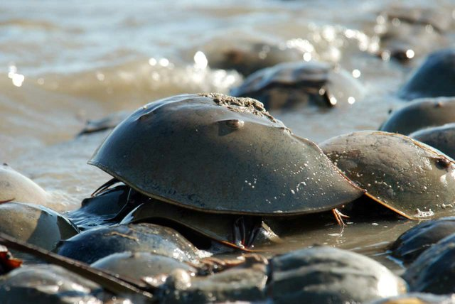 001-Male-and-female-horseshoe-crabs-emerged-from-the-sea-to-spawn.-Photo-courtesy-of-USFWS.jpg