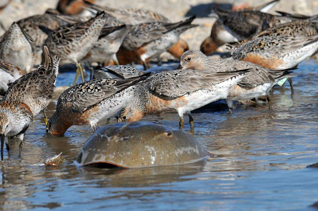 002-Rufa-Red-Knots-gorging-on-horseshoe-crab-roe.-Photo-courtesy-of-USFWS.jpg