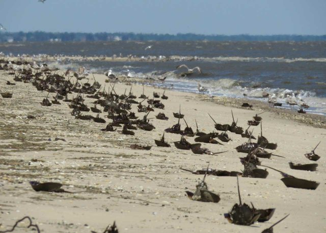 005-Massive-horseshoe-crab-stranding.-Photo-courtesy-of-Jessica-Quinn.jpg