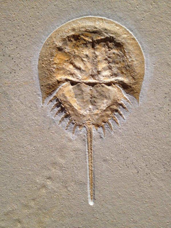 008B-Horseshoe-Crab-Fossil.jpg