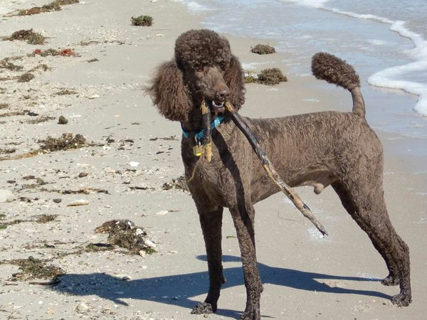Standard-poodle,-Guinness,-a-born-retriever,-makes-a-game-of-chasing-sticks-at-Haven-Beach-in-Mathews-County.jpg