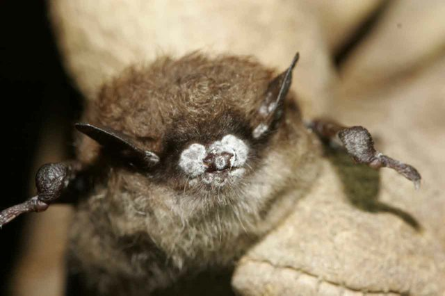 001 Close-up of Bat with White-nose Syndrome.jpg