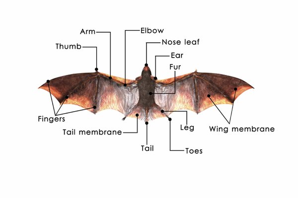 004 Bat Anatomy.jpg