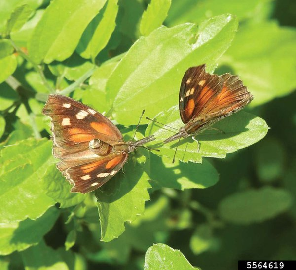 5564619-SMPT-Two-American-Snout-butterflies.-Courtesy-of-Johnny-Dell.jpg