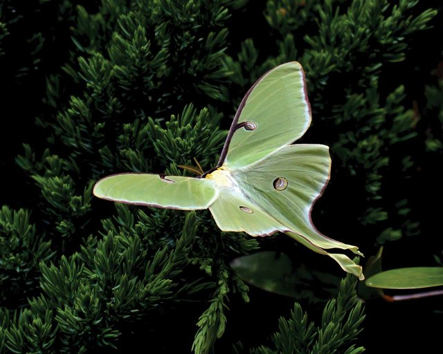 Luna-Moth-Courtesy-of-University-of-Georgia.jpg